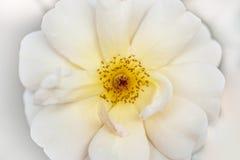 Primo piano di rosa di bianco Fotografia Stock
