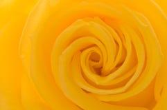 Primo piano di rosa di colore giallo Immagini Stock