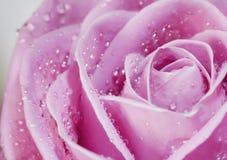 Primo piano di rosa di colore rosa Fotografie Stock Libere da Diritti