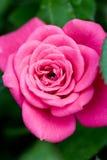 Primo piano di rosa di colore rosa Fotografia Stock