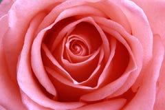 Primo piano di rosa di colore rosa Immagini Stock