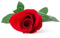 Primo piano di rosa di colore rosso Fotografie Stock Libere da Diritti