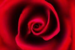 Primo piano di rosa di colore rosso Immagine Stock