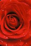 Primo piano di rosa di colore rosso Immagine Stock Libera da Diritti