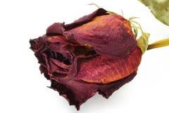 Primo piano di rosa di colore rosso asciutto Immagine Stock