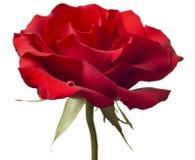 Primo piano di rosa di colore rosso isolato su priorità bassa bianca Immagini Stock