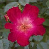 Primo piano di rosa selvaggio del fiore Fotografia Stock Libera da Diritti