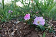 Primo piano di rosa selvaggio della rosa del tè Fotografia Stock Libera da Diritti
