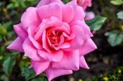 Primo piano di Rose Blooming rosa Fotografie Stock Libere da Diritti