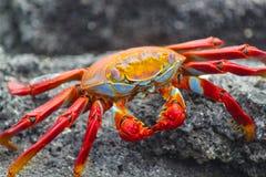 Primo piano di Sally Lightfoot Crab Fotografia Stock