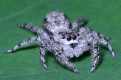 Primo piano di salto del ragno di Metaphid Fotografia Stock