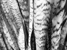 Primo piano di sansevieria in bianco e nero Fotografia Stock