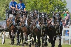 Primo piano di sei gruppi del legamento di cavallo del progetto pesante H Fotografie Stock Libere da Diritti
