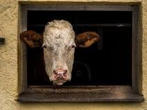 Primo piano di sguardo capo della mucca da una finestra Immagine Stock Libera da Diritti
