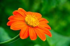 Primo piano di singolo fiore arancio fotografie stock