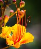 Primo piano di singolo uccello messicano splendido del fiore di paradiso Fotografia Stock Libera da Diritti