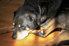 Primo piano di sonno Rottweiler Fotografie Stock Libere da Diritti