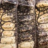 Primo piano di struttura della pelle del coccodrillo Fotografia Stock Libera da Diritti