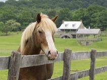 Primo piano di Tan Horse Looking Over Fence Immagini Stock Libere da Diritti