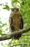 Primo piano di Tawny Fish Owl Immagine Stock Libera da Diritti