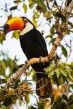 Primo piano di Toco Toucan selvaggio appollaiato alla luce di mattina fotografie stock libere da diritti