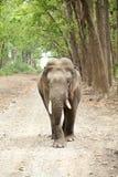 Primo piano di tusker e di bella foresta verde Immagini Stock Libere da Diritti