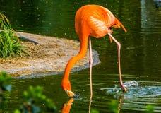 Primo piano di un'acqua potabile del fenicottero caraibico, specie tropicale variopinta dell'uccello dall'America fotografia stock