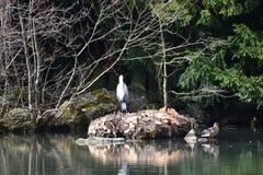 Primo piano di un airone cenerino che si siede su una pietra in un lago all'eredità culturale Herkules del mondo a Cassel, Wilhel Immagini Stock Libere da Diritti