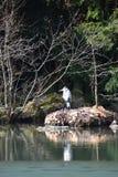 Primo piano di un airone cenerino che si siede su una pietra in un lago all'eredità culturale Herkules del mondo a Cassel, Wilhel Immagine Stock Libera da Diritti