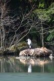 Primo piano di un airone cenerino che si siede su una pietra in un lago all'eredità culturale Herkules del mondo a Cassel, Wilhel Fotografia Stock Libera da Diritti