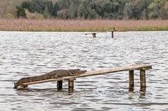 Primo piano di un alligatore che si trova su una plancia nell'acqua Fotografia Stock