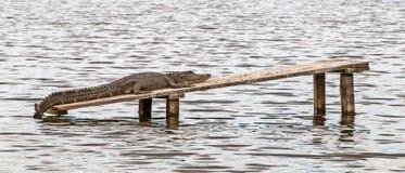 Primo piano di un alligatore che si trova su una plancia nell'acqua Immagini Stock Libere da Diritti