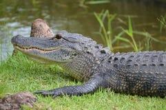 Primo piano di un alligatore su erba vicino ad una palude Immagine Stock