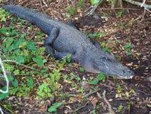 Primo piano di un alligatore su terra Immagini Stock Libere da Diritti