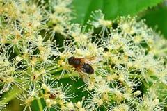 Primo piano di un'ape mellifica su un fiore ornamentale bianco fotografia stock