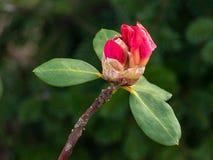 Primo piano di un arbusto con le ericaceae rosa di fioritura del rododendro fotografia stock