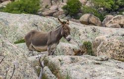Primo piano di un asino in Sardegna Italia fotografie stock libere da diritti