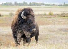 Primo piano di un bisonte selvaggio del bisonte del bisonte americano Immagini Stock Libere da Diritti