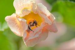 Primo piano di un bombo coperto di polline fotografia stock