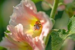 Primo piano di un bombo coperto di polline fotografie stock