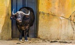 Primo piano di un bufalo del capo, bovino tropicale dall'Africa, animali da allevamento domestici fotografia stock libera da diritti