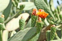 Primo piano di un cactus e di una mosca Fotografie Stock