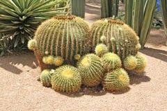Primo piano di un cactus spinoso Immagini Stock Libere da Diritti