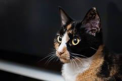 Primo piano di un calicò Cat Looking Left fotografie stock libere da diritti