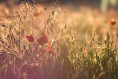 Primo piano di un campo dei papaveri in un tramonto dorato della molla Immagine tipica della molla nel campo fotografia stock