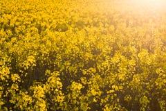 Primo piano di un campo pieno di sole del colza oleifero Fotografia Stock