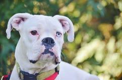 Primo piano di un cane bianco del pugile Fotografie Stock Libere da Diritti