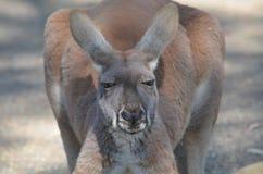 Primo piano di un canguro marrone Immagini Stock