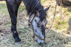 Primo piano di un cavallo che mangia fieno Fotografia Stock Libera da Diritti