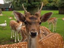Primo piano di un cervo Fotografia Stock Libera da Diritti